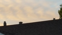 September 7, 2016 - Two owls hang out on a Broomfield roof. (David Canfield)