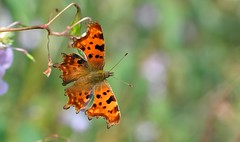 Comma (Polygonia c-album) (Bob Eade) Tags: comma polygoniacalbum rivercuckmere eastsussex lepidoptera butterflies butterfly summer sussex vanessid