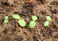 Lettuce seedlings (Explored) (JulieK (finally moved to Wexford)) Tags: hmm macromondays allinarow macro lettuce leaves foliage plant soil compost polytunnel vegetable produce edible cutandgrow iphone5