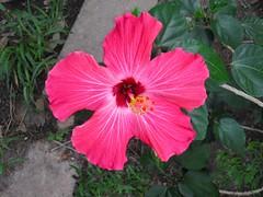 Hibiscus (dog.happy.art) Tags: flower flowering plant shrub hibiscus gardenflower