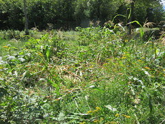 Corn Squished By Bear (amyboemig) Tags: corn garden maize flattened bear sign squish