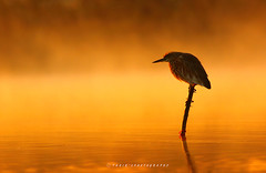 The Golden misty Morning (T@hir'S Photography) Tags: america animals backgrounds beaches beak beauty bird birding brazil colors dusk egret feather gold great heron hunting image lake landscape legs natural nature outdoor plants pond reflection ripple river scene scenic sea seashore shore silhouette spring summer sun sunlight sunrise sunset tranquil travel wading water wild wildlife wood yellow animal blue caerulea colorful darling ding egretta evening everglades fauna florida lagoon little national north orange park reflected refuge sanctuary sanibel silhouetted sky states united usa