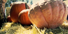 Pumpkins (Lydia_Brave) Tags: fall pumpkin white orange yellow autumn hay tree festival summer soom detail auto