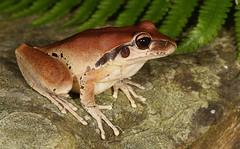 Stony Creek Frog (Female) (Mitch Thorburn) Tags: herping herp amphibian qld east south goldcoast springbrooknationalpark wilcoxii litoria frog creek stony