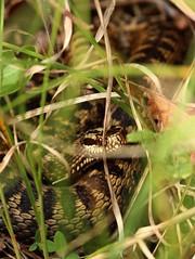 Vipre pliade (Maud Douay) Tags: serpent snake viper vipre vipera berus pliade reptile