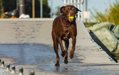 The Prize_2853 (pagepw) Tags: chocolate lab dog running ball fetch wet athletic