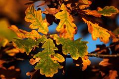 Herbst (gutlaunefotos ☮) Tags: herbst eiche eichenbätter