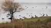 Diversity (nikjanssen) Tags: geese ducks diversity schulensmeer grauweganzen