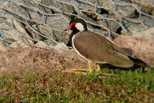 Red-Eyed Not a Duck #birds #SriLanka @gaurikaw