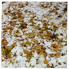 Premire neige - First Snow (bob august) Tags: autumn snow fall colors automne novembre montral couleurs squareformat iphoto neige leafs feuilles iphone 2014 villeray premireneige formatcarr fristsnow iphone4 alienskinsoftware iphoneography iphoneographie appaltphoto