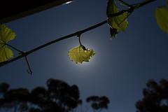 Vine Eclipse (Stuart Templeton) Tags: door vineyard wine south australia stuart vale mclaren sa templeton region cellar wawa oogy