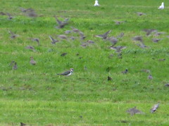 Migration activity in the meadow, Akkrum (Alta alatis patent) Tags: cows flight meadow lapwing migration inthemeadow