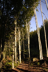 Tall Trees (Paul Pacio) Tags: wood autumn trees mountain primavera nature alberi photo spring nikon foto natura tall d100 autunno montagna bosco alti