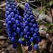 muscari common, myyard, jdy102 XX200904126042.jpg