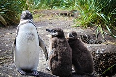 Penguin family (estelarocanrol) Tags: argentina del ushuaia penguin fuego pinguin pinguino tierra argentinien feuerland