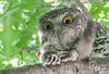 Powerful Owl (Ninox strenua)-2-9 (rawshorty) Tags: birds australia owl canberra act rawshorty