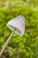 Liberty Cap (Paul_Maher) Tags: macro nature mushroom up closeup mushrooms close fungus libertycap