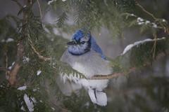 À l'abri de la Tempète (Renald Bourque) Tags: bird nature wildlife oiseau geaibleu bluegay hiverquebecois
