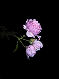 rose_P1470607