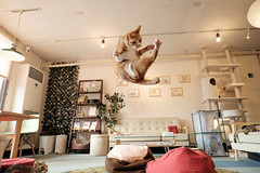 Irori (rampx) Tags: cat ginger jump action kittens fujifilm neko 猫 ねこ irori miaw xt1 classicchromeacr