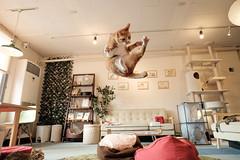 Irori (rampx) Tags: cat ginger jump action kittens fujifilm neko   irori miaw xt1 classicchromeacr