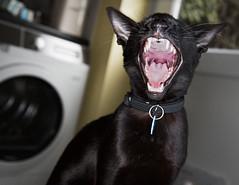 Bored now (DavidS_UK) Tags: black cat mouth fur feline teeth yawn siamese ears gums buffy oriental moggie meezer
