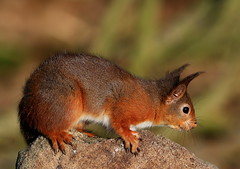 Red Squirrel (raysanderson50) Tags: