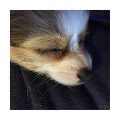 Molly asleep on my lap (mimbrava) Tags: dog puppy molly mimbrava papillon arr allrightsreserved mimbravastudio mimeisenberg