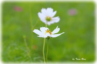 IMG_1158_pansy