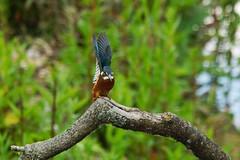 Male kingfisher prepares for take-off (P_1_B) Tags: bird nature birds suffolk wildlife birding kingfisher birdwatching lackfordlakes kingfishers sigma150500 sonya77 slta77 slta77v sonya77v