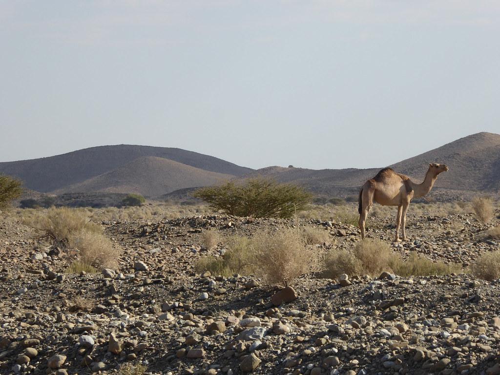 Majestic camel