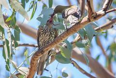 olive-backed oriole (Oriolus sagittatus)-3956 (rawshorty) Tags: birds australia canberra act jerrabomberrawetlands rawshorty