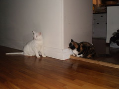 Mystic and Autumn (universalcatfanatic) Tags: wood autumn orange cats brown white black kitchen corner cat handle sitting counter floor hard tortoiseshell hide drawer sit calico around tortie hiding cupboard crouch mystic hardwood crouching cupboards