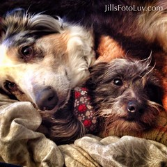 Brothers of different mothers... (jillsfotoluv) Tags: friends dogs buddies cuddle australianshepherd cuddling cairnterrier aussies terriers canines