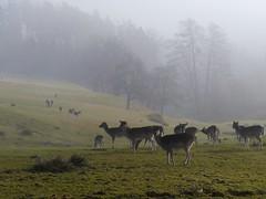 Morgenäsung   /   Morning grazing (rudi_valtiner) Tags: mist fog austria österreich nebel fallowdeer niederösterreich autriche thann warth loweraustria buckligewelt damwild kirchau zottlhof