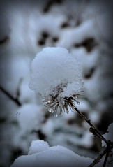 petits chapeaux blancs...2/3 (.Sophie C.) Tags: winter snow hiver neige nord 59 cambrsis masnires rgionnordpasdecalais