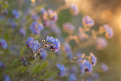 Forget-me-nots after a frosty night - Spring 2016 (Wilma v H - thanks for lovely feedback and faves!!) Tags: macro misty closeup sunrise droplets spring dof bokeh frosty wildflowers springflowers purpleflowers blueflowers forgetmenots vergeetmenietjes canoneos60d springscenics spring2016