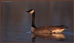Early Morning Canada Goose (CrzyCnuk) Tags: canon wildlife alberta canadagoose bowvalley canon6d