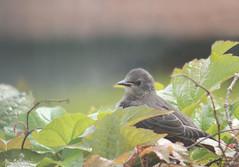 Jeune Etourneau sansonnet (Mariie76) Tags: nature gris animaux feuilles verdure oiseaux petit mignon vulgaris jeune etourneau sturnus sansonnet juvnile passereaux