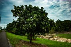 Calophyllum inophyllum (betadecay2000) Tags: road street gardens outdoor australia darwin ave australien avenue northern garten januar territory australie the 2016 austral strase gilruth