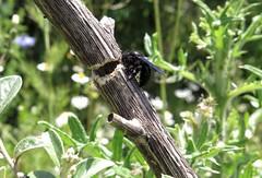 4/8 Timber - 24 V 2016 (el.gritche) Tags: hymenoptera france 40 garden apidae xylocopinae xylocopa xylocopairis iris nest behavior female bee abeille