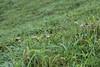Cape Santiago Butterfly (jjthandcd) Tags: travel lighthouse grass sheep taiwan roadtrip adventure ram easternmost capesantiago