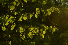 Fresh spring green leaves (ChemiQ81) Tags: sunset sky sun green leaves leaf spring outdoor trails poland polska polish jura polen jurassic polonia jaro zachd soca pologne wiosna 2016  polsko niebo licie ziele  puola plland lenkija pollando zawiercie   poola poljska polija pholainn wiosenne szlakiem     kroczyce chemiq bonowice jurajskim polanya lengyelorszgban erkowice