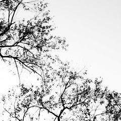 (Mehrdad Mir) Tags: white canada abstract black tree nature leaves landscape arbol wind ottawa arvore arbre bnw