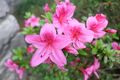 IMG_3000.JPG (robert.messinger) Tags: flowers rhodies