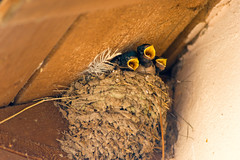 Hungry chicks in the nest with open yellow mouths (noor.khan.alam) Tags: life family wild baby bird home nature childhood animal fauna rural mouth outdoors bill call village child open martin natural nest eating wildlife country group beak young feather chick busy clay hungry feed sibling care swallow immature greedy fledgling beg demand weak shouting helpless brood nestling appealing russianfederation