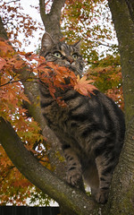 The Great Pretender (M J Adamson) Tags: autumn trees newzealand cats pets leaves animals nz sweetpea