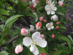 ** Fleurs de Pom'Zai... ** (Impatience_1) Tags: fleur flower pomzai maluspomzai pommiernain maluscomminis arbuste printemps spring mai m impatience may saveearth supershot coth fantasticnature alittlebeauty coth5 abigfave sunrays5 shrub