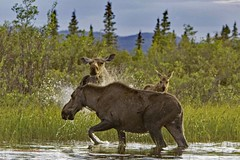 Moose Confrontation (Colin Pacitti) Tags: canada animal outdoor ngc yukon wildanimal charge coth moosecalf cowmoose alcesalces chargingmoose fantasticwildlife hennysanimals sunrays5