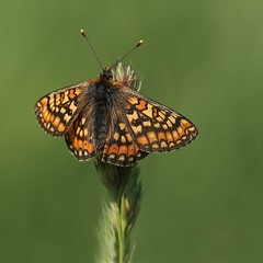 Marsh Fritillary (steve whiteley) Tags: butterfly insect wildlife natuer marshfritillary